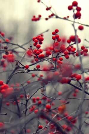Red Bush Fruits IPhone Wallpaper Mobile Wallpaper