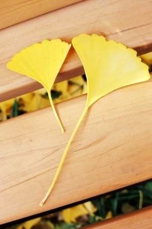 Ginkgo Biloba IPhone Wallpaper Mobile Wallpaper