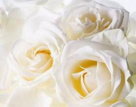 White Rose Mobile Wallpaper