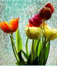 Beautiful Tulips Mobile Wallpaper
