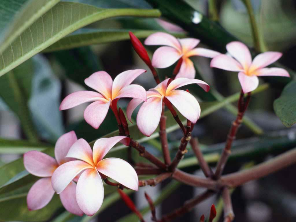 Frangipani Flowers Mobile Wallpaper
