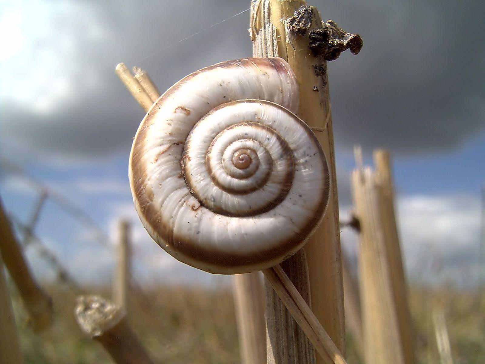 California_Snail Mobile Wallpaper