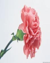 Flower 6 Mobile Wallpaper