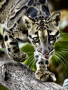 Clouded Leopard wallpapers