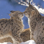 Kissing Cat wallpapers