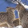 Kissing Cat wallpapers