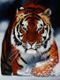 Bengal Tiger wallpapers