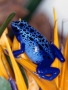 Blue Frog 1 wallpapers