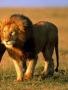 Lion - Hop wallpapers