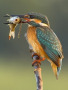 Bird Caught Fish wallpapers