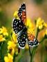 Butterflys wallpapers