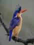 Blue Birds wallpapers