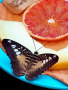 Butterfly And Orange wallpapers