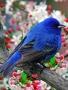 Blue Bird wallpapers