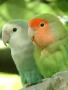 Awesome Parrots Pair wallpapers