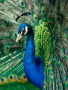 Peacock Wings wallpapers