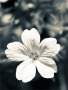 White Flower wallpapers