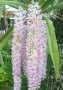 Assam Orchid Kopou wallpapers