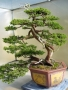Bonsai wallpapers