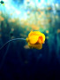 Only U Yellow Rose wallpapers