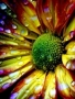 Colourful Flower And Water Drops wallpapers