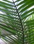 Majesty Palm wallpapers