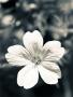 White Flower wallpapers