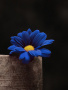 Blue Sunflower wallpapers