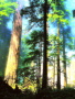 Tall Trees wallpapers