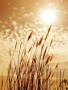 Sun And Grain wallpapers