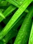 Green Leafs wallpapers