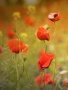 Red Flowers wallpapers