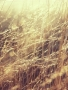 Field Grass wallpapers