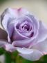 Purple Light Rose wallpapers