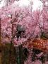 Japan Bloss wallpapers