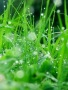 Drops Green Grass wallpapers