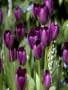 Purple Tulips wallpapers