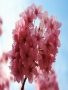 Pink Blossom wallpapers