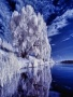White Trees wallpapers