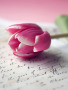 Lovely Tulip wallpapers