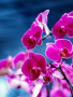 Purple Orchids wallpapers
