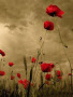 Poppies wallpapers
