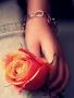 Orange Rose wallpapers