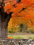 Autumn Orange Tree wallpapers