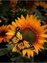 Sunflower And Butterfly Free Mobile Wallpapers