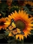 Sunflower And Butterfly wallpapers