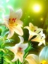 Lilies wallpapers