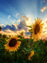 Gorgeous Sunflowers wallpapers