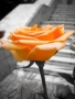 Orange Rose wallpapers