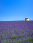 Lavender Fields wallpapers